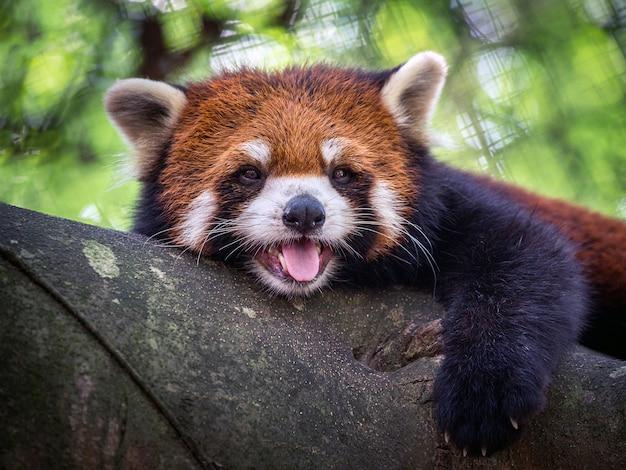Panda vermelha, gato de brilho, na árvore.