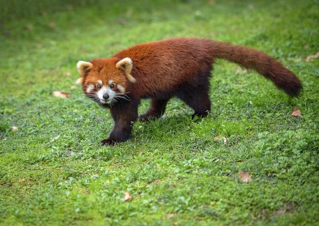 Panda vermelho caminha em uma grama, olhando para a câmera