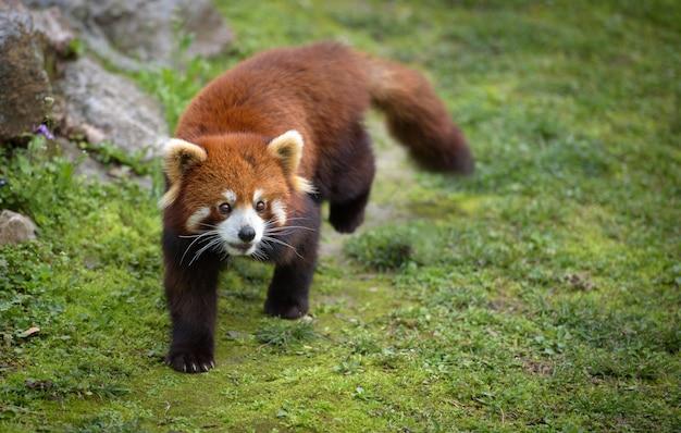 Panda vermelho caminha sobre musgo