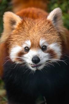 Panda vermelho close-up