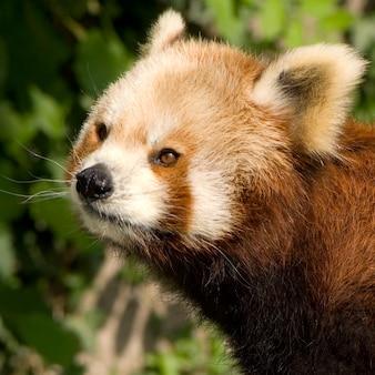 Panda vermelho em estado selvagem