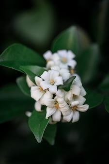 Paniculata branco de murraya