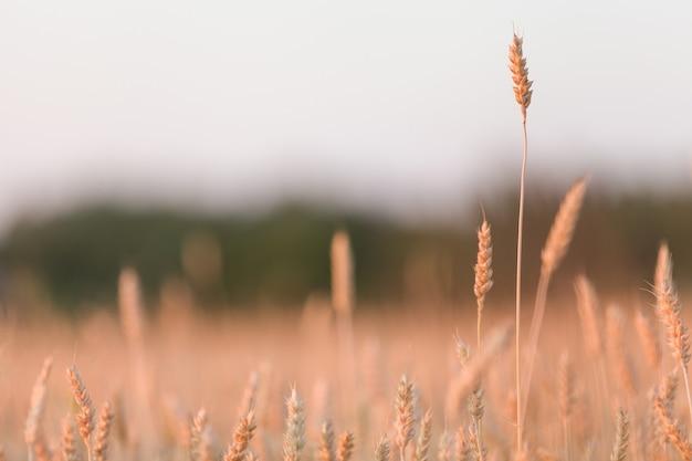 Pano de fundo do campo de trigo dourado de espigas de amadurecimento do campo de trigo amarelo no fundo do sol