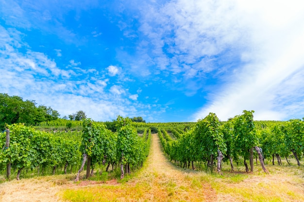 Panorama cênico do vinhedo, plantação de videiras em crescimento.