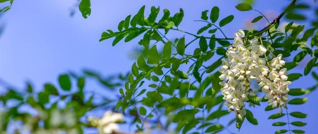Panorama das flores de mel de acácia, uma árvore com flores perfumadas ricas em néctar, uma abelha apiária e flores com mel.