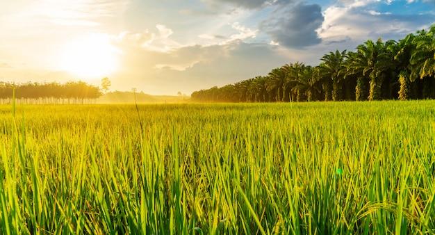 Panorama de campo de arroz com o nascer ou o pôr do sol na luz de moning