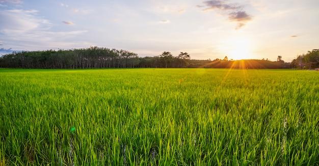 Panorama de campo de arroz com o nascer ou pôr do sol e reflexo de raio de sol