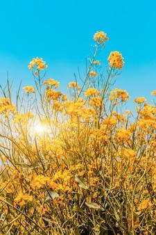 Panorama de campo florido, estupro amarelo