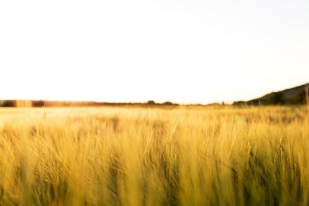 Panorama de campos de grãos de trigo dourado