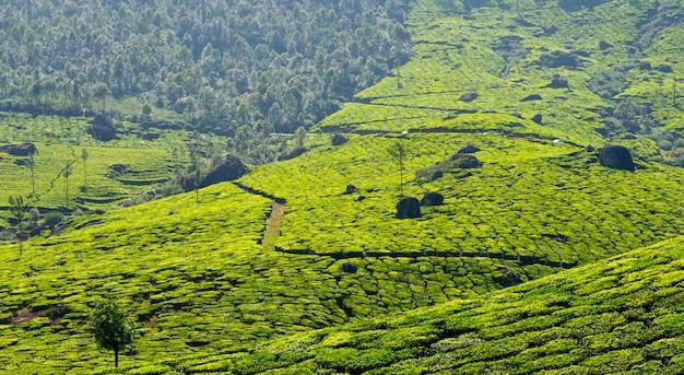 Panorama de plantações de chá