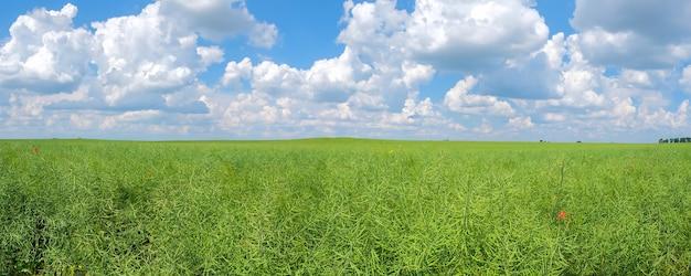 Panorama de semente de colza verde em um fundo de céu azul nublado