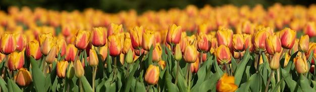Panorama de tulipas laranja ao sol. campo de tulipas densamente plantadas.