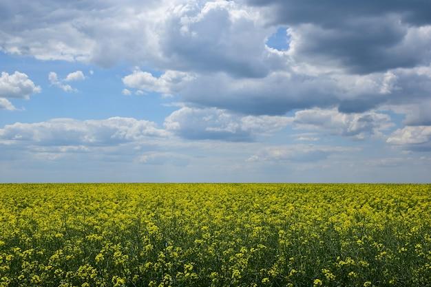 Panorama de um campo de colza amarela contra um céu azul com nuvens claras