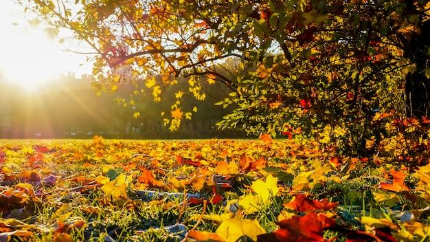 Panorama de uma paisagem brilhante do outono com folhas de bordo caídas.