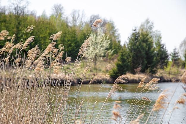 Panorama. lago e pântano no fundo de belas árvores.
