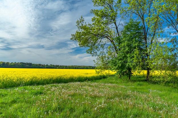 Panoramof colza floração contra o bl