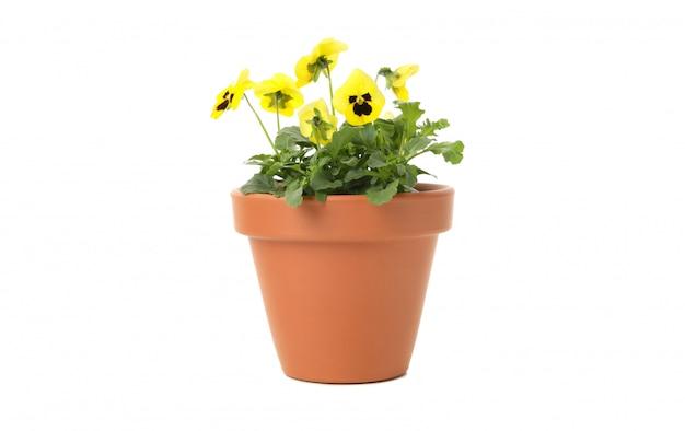 Pansies amarelos no vaso de flores isolado em branco isolado