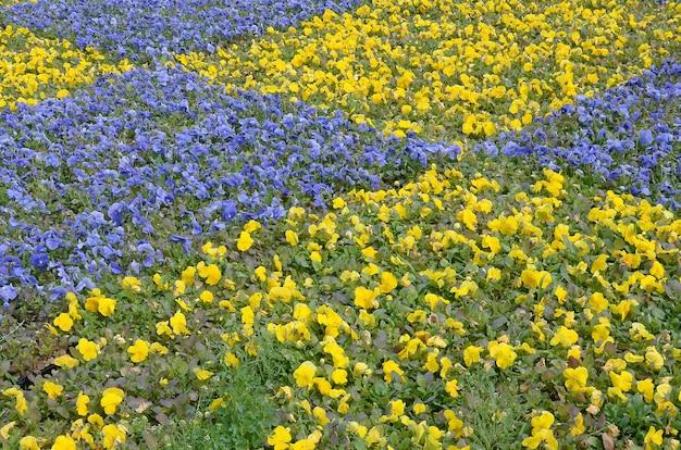 Pansies de florescência violetas e amarelas bonitas no jardim primavera