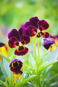 Pansies florescendo flores. foco seletivo. flora e fauna.