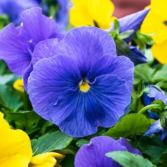 Pansy azul e amarelo, hortensis roxo, flores no jardim.