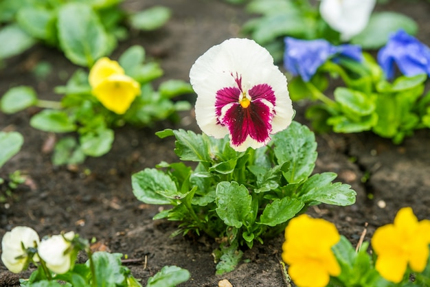 Pansy branco com addons violetas fora no jardim