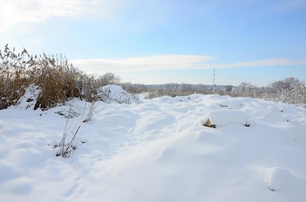 Pântano selvagem coberto de neve com um monte de juncos amarelos, coberto com uma camada de neve