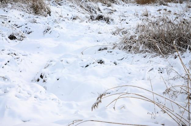 Pântano selvagem coberto de neve com um monte de juncos amarelos