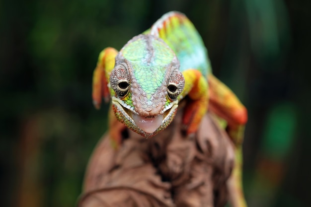 Pantera camaleão no galho