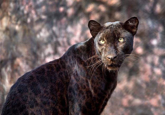 Pantera ou leopardo em atmosfera natural.