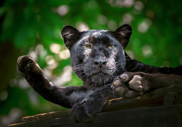 Pantera ou leopardo estão descansando na atmosfera natural.