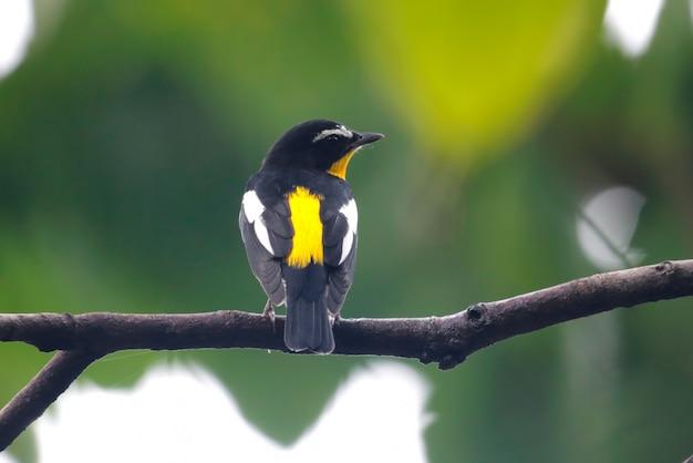 Papa-moscas amarelo-rumped ficedula zanthopygia belas aves masculinas da tailândia empoleirar-se na árvore