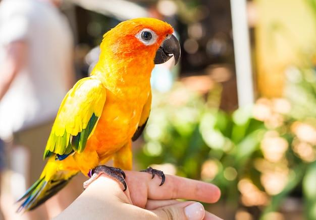 Papagaio amarelo colorido sun conure, aratinga solstitialis