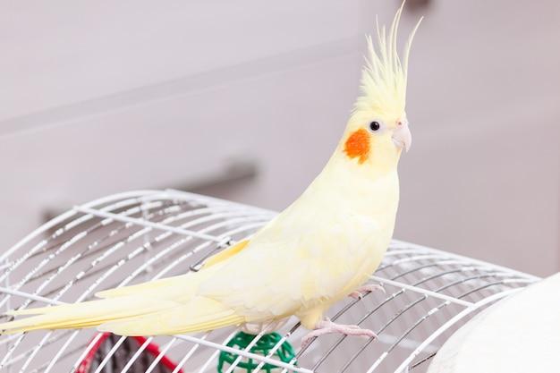 Papagaio amarelo do cockatiel da ninfa no pássaro da gaiola em casa.