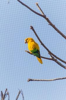 Papagaio ao ar livre ararajuba em um parque no rio de janeiro.