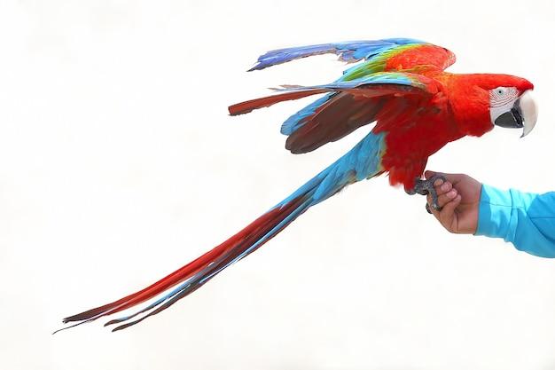 Papagaio arara grande sentado na mão de um homem