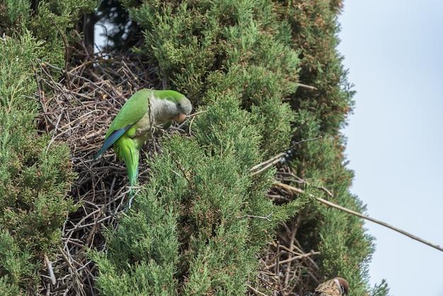 Papagaio argentino ao lado de seu ninho em um pinheiro