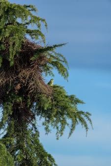 Papagaio argentino ao lado de seu ninho no topo de um pinheiro