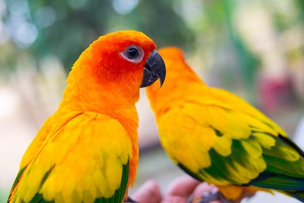 Papagaio bonito, sun conure no ramo de árvore.
