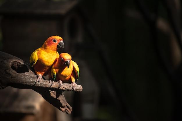 Papagaio bonito, sun conure no ramo de árvore
