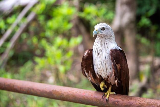 Papagaio brahminy ou vermelho apoiado mar eagle no trilho de ferro