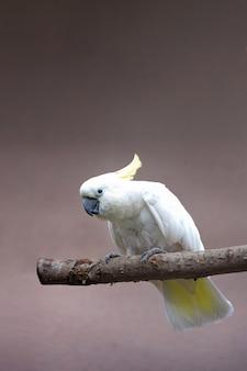 Papagaio cacatua branca senta-se no galho de árvore