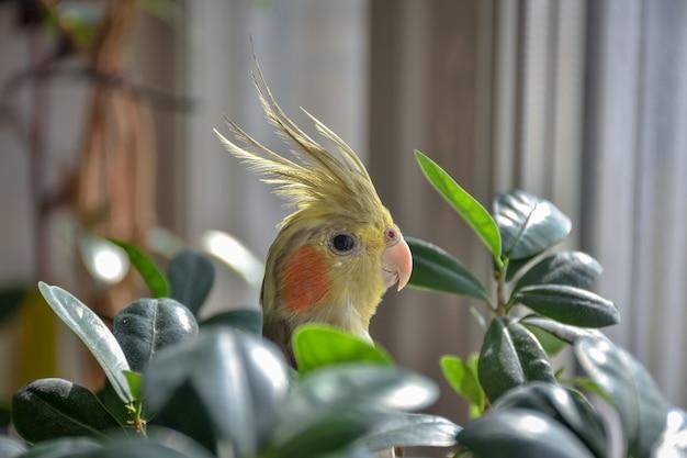 Papagaio calopsita em folhagem de folhas
