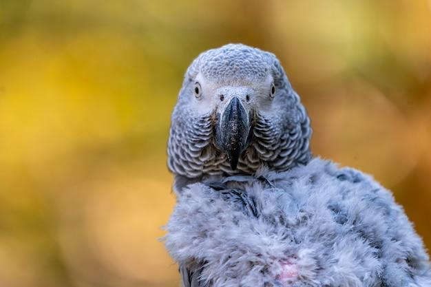 Papagaio cinza africano bebê com cauda vermelha aguenta o galho na floresta