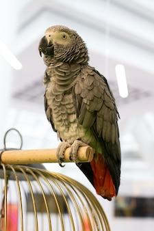 Papagaio cinza africano, close-up. a cor da ave é cinza escuro, a cauda é vermelha e o bico é preto. papagaio sentado em um pedaço de madeira