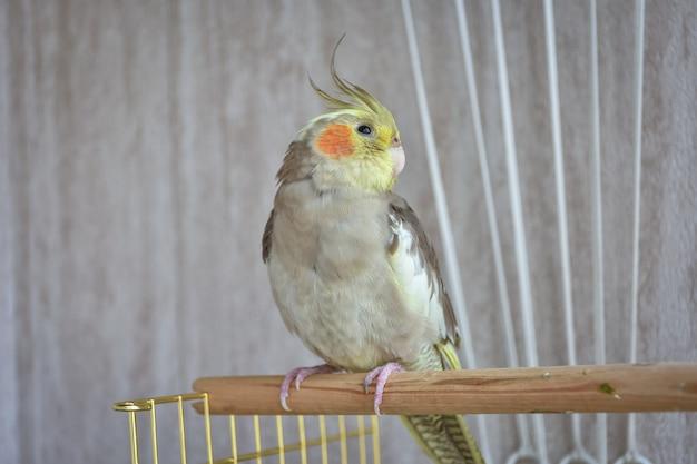 Papagaio cinza periquito sentado em poleiro papagaio cinza