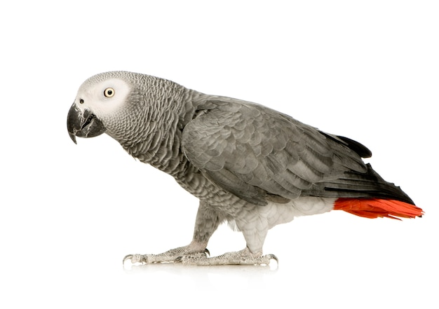 Papagaio-cinzento - psittacus erithacus na frente em um branco isolado