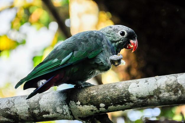 Papagaio cinzento verde