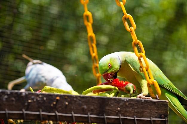 Papagaio colorido bonito do close-up no parque que come a pimenta vermelha. observação de pássaros