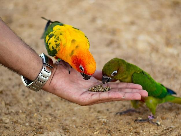 Papagaio colorido bonito sentado no dedo humano.