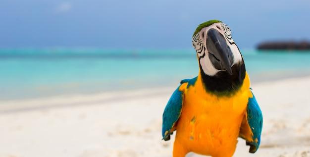 Papagaio colorido brilhante bonito na areia branca nas maldivas